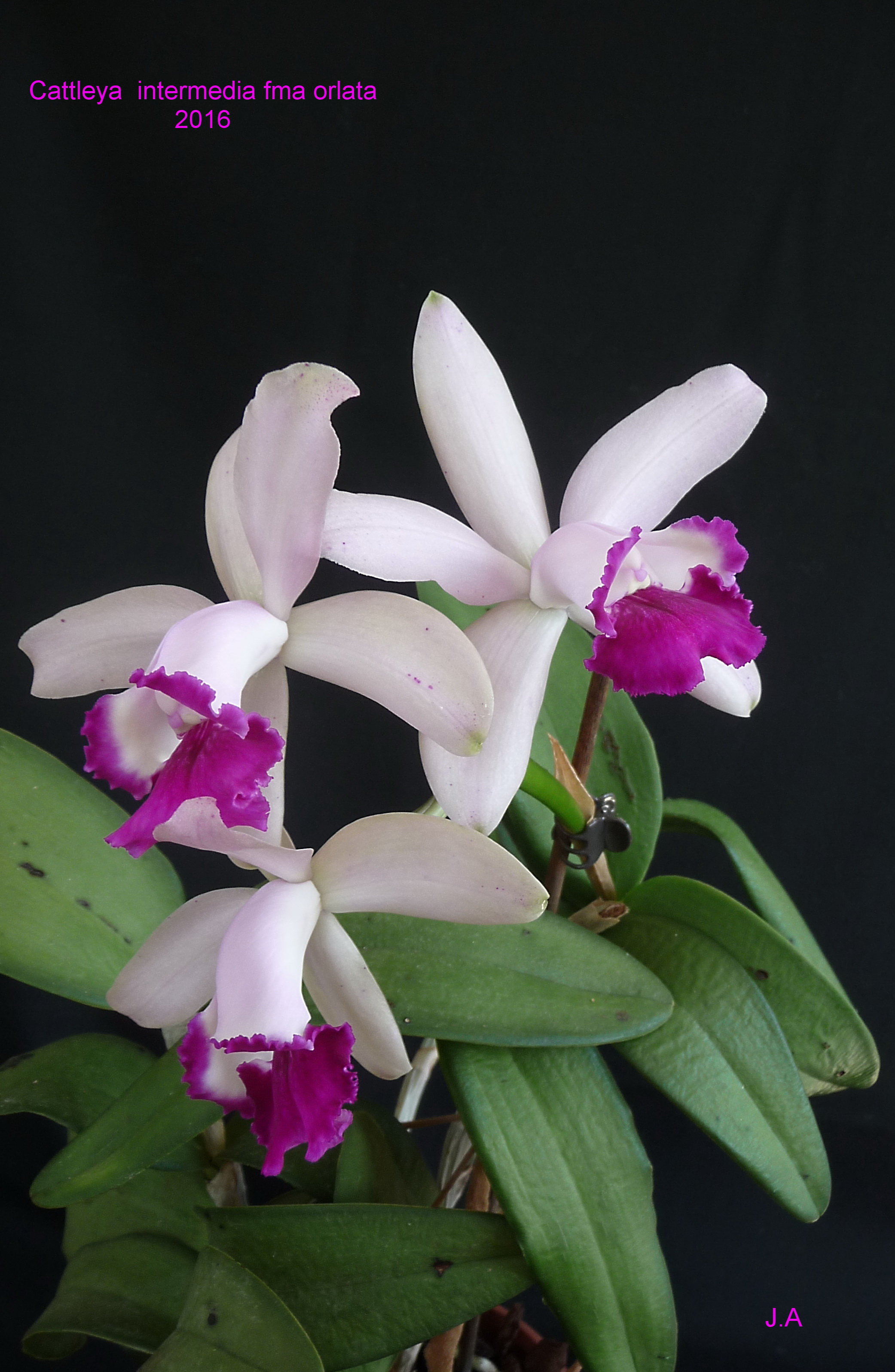 Cattleya intermedia fma orlata 1604290443549984