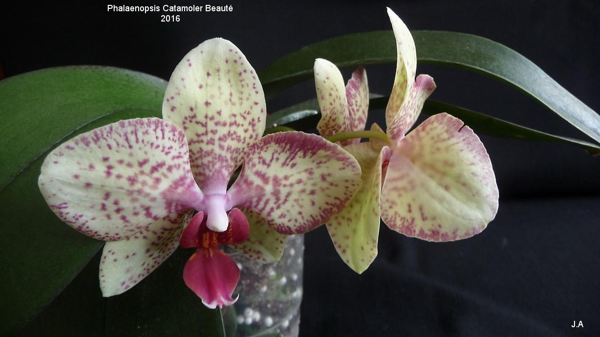 Phalaenopsis Catamoler Beauté 160501061904522436