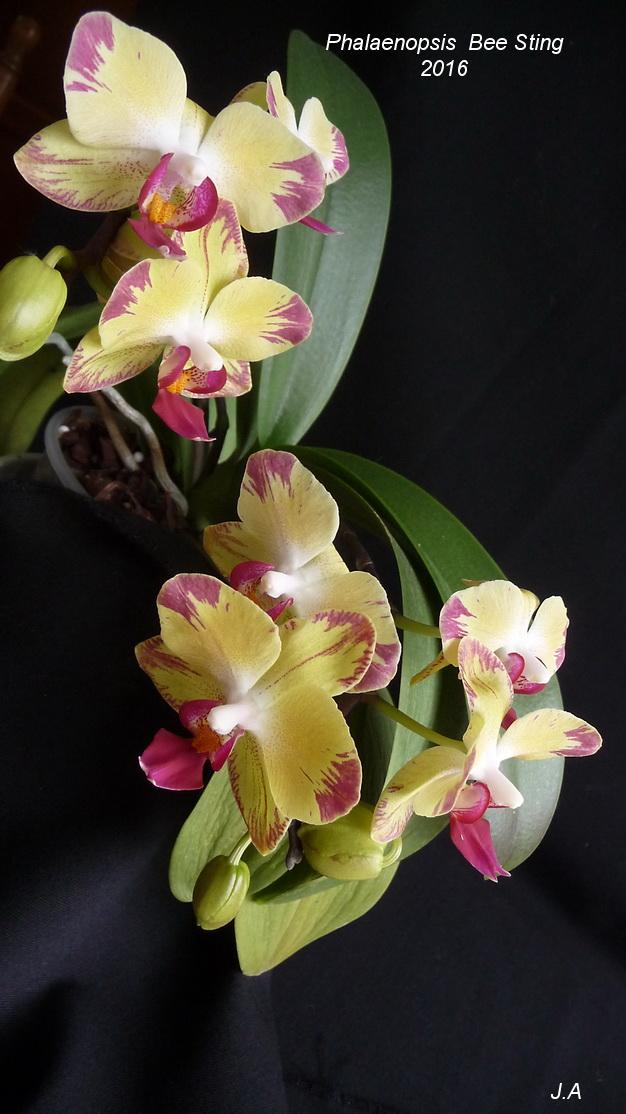 Phalaenopsis Bee Sting 160520074502153085