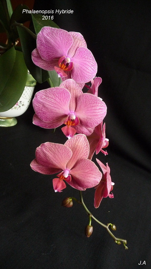 Phalaenopsis Hybride 160520080333695533