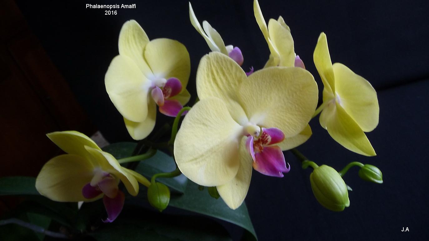 Phalaenopsis Amalfi 16060407081523928