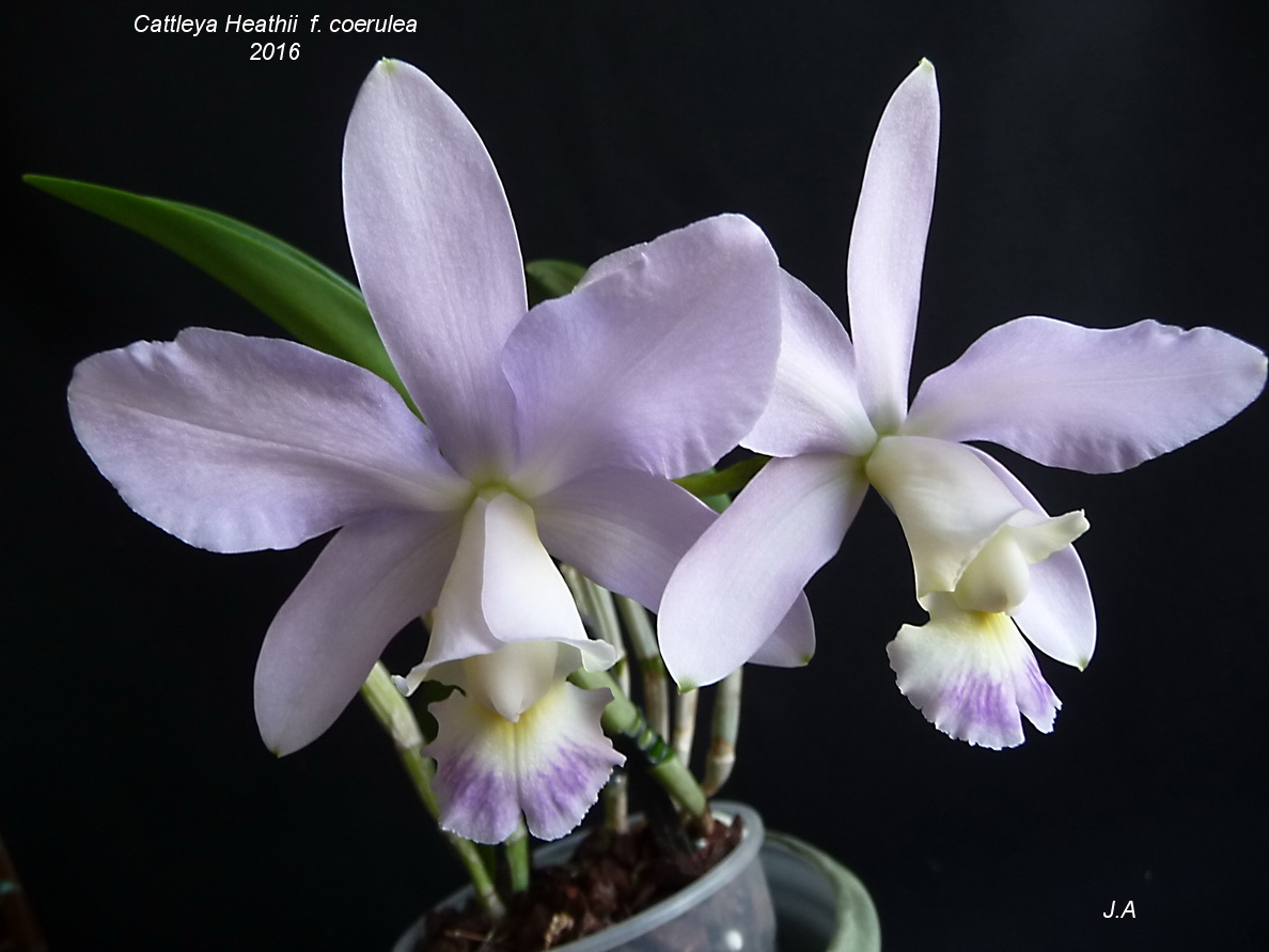 Cattleya Heathii f. coerulea 160630085710563330