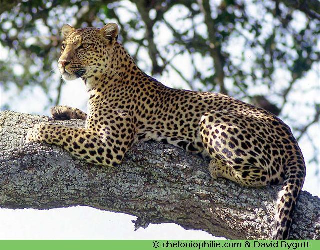 Jeu des animaux - Image leopard a imprimer ...