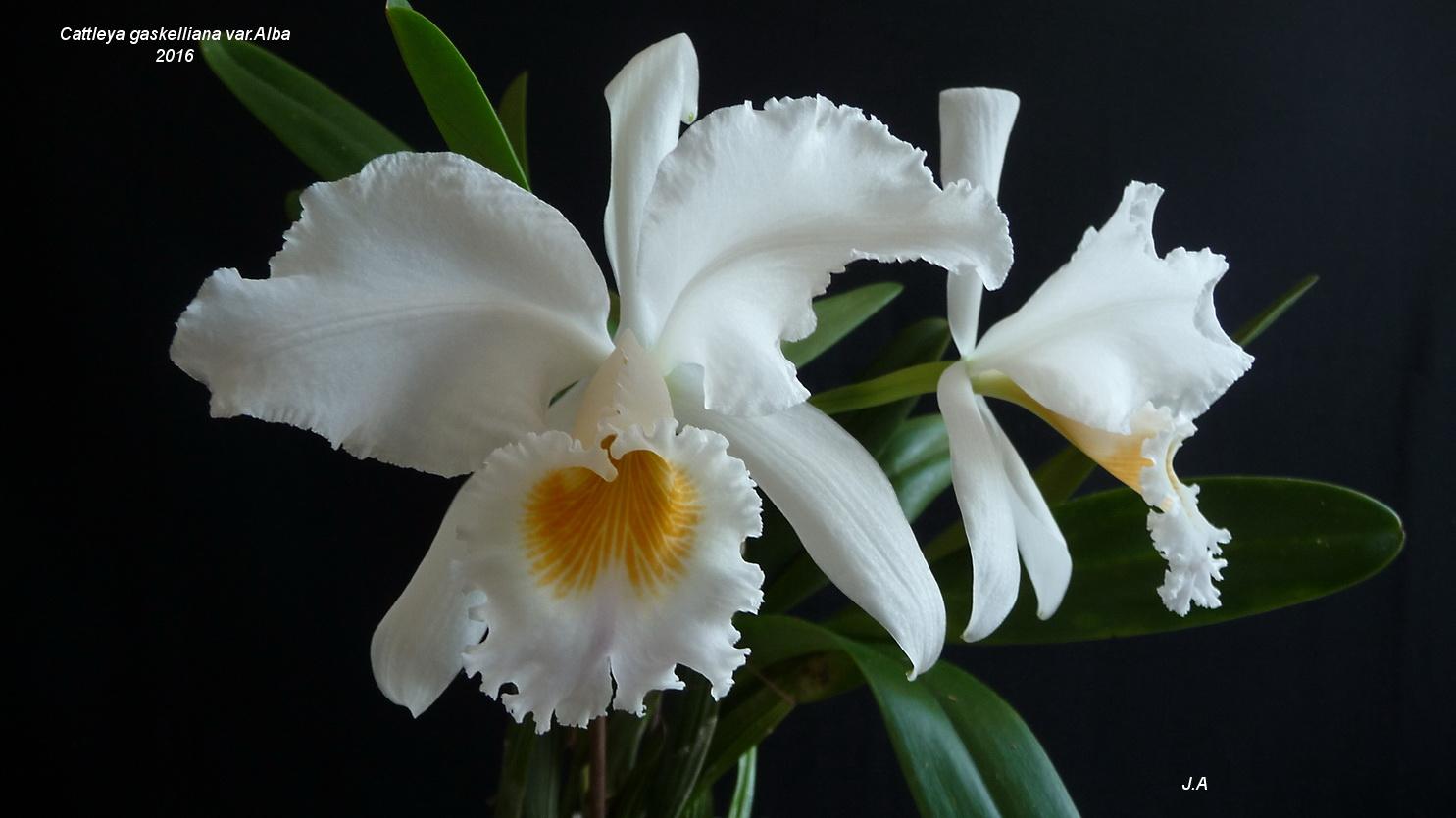 Cattleya gaskelliana var.Alba 160726112538258750