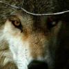 Les images des loups 160818101505541394