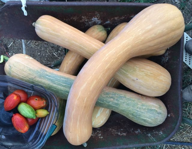 Courges brouette