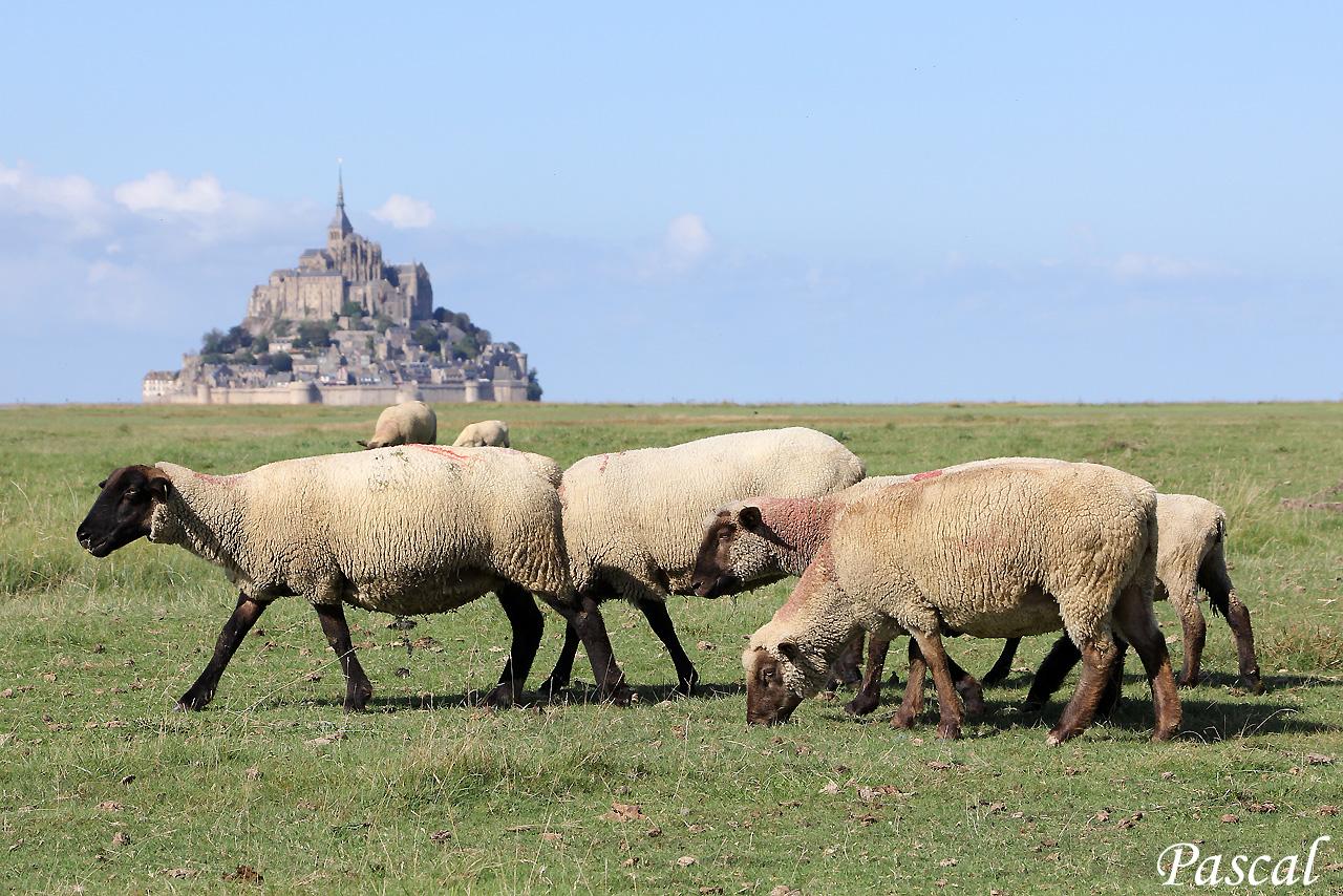 Les herbus de la baie du Mont Saint Michel 161002065547327159
