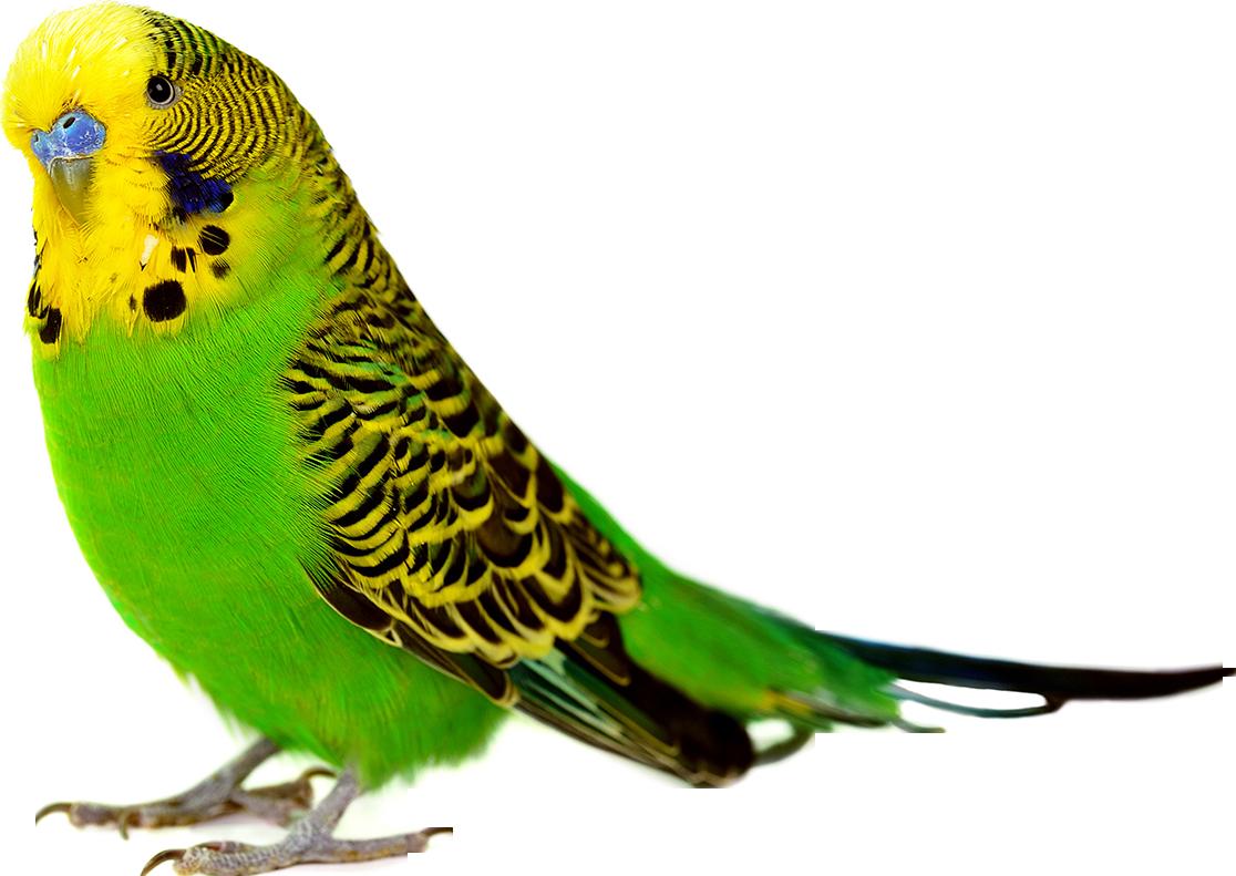 Photos d'oiseaux sur fond blanc 161026094522881271