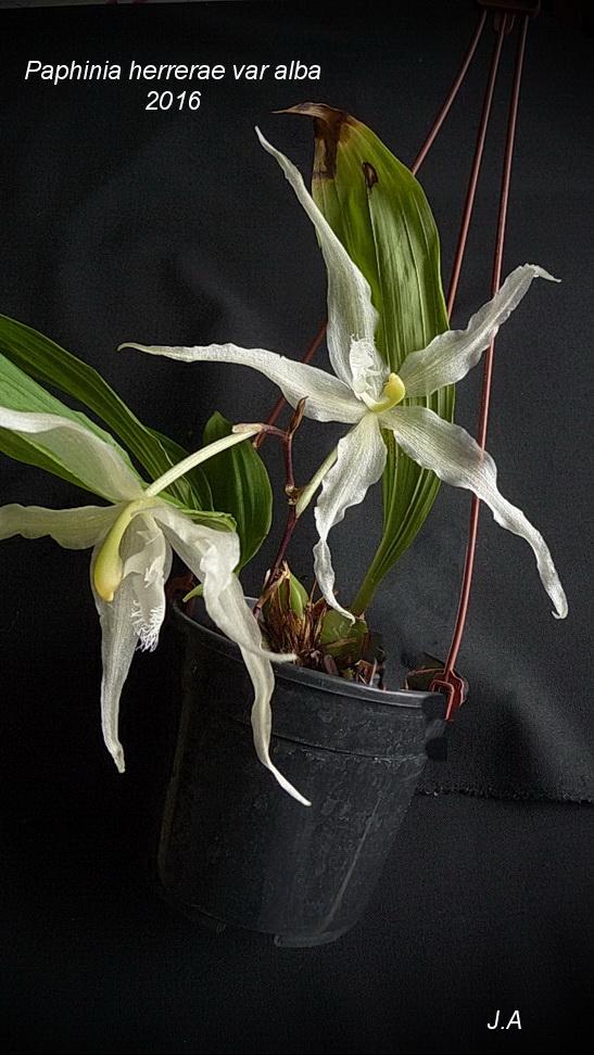 Paphinia herrerae var alba 161225032818693805