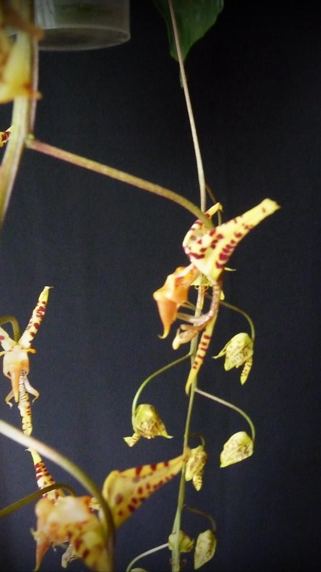 Gongora herrenhusana (fulva) 170115035816195054