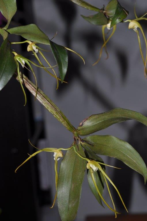 Dendrobium           Tetragonum   var                                                 170120065124200108