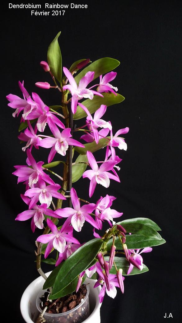 Dendrobium Rainbow Dance 170205033024833897