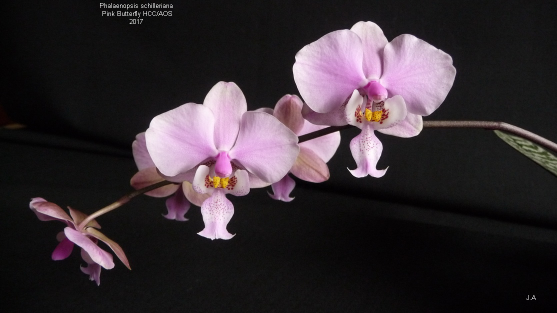 Phalaenopsis schilleriana Pink Butterfly HCC/AOS 170301111330438930