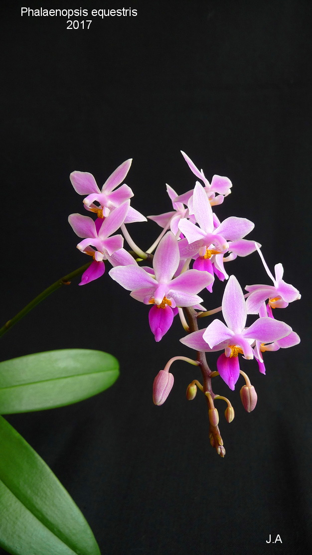 Phalaenopsis equestris 17031404290655686