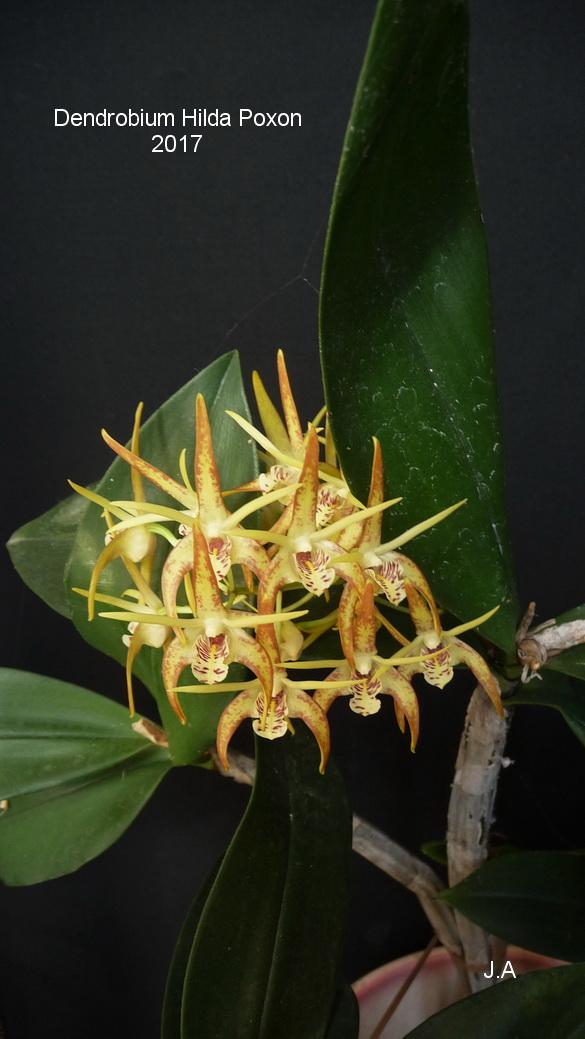dendrobium Hilda poxon (speciosum x tetragonum) 170316125233339445