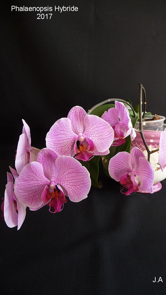 Phalaenopsis Hybride 170318104433664037