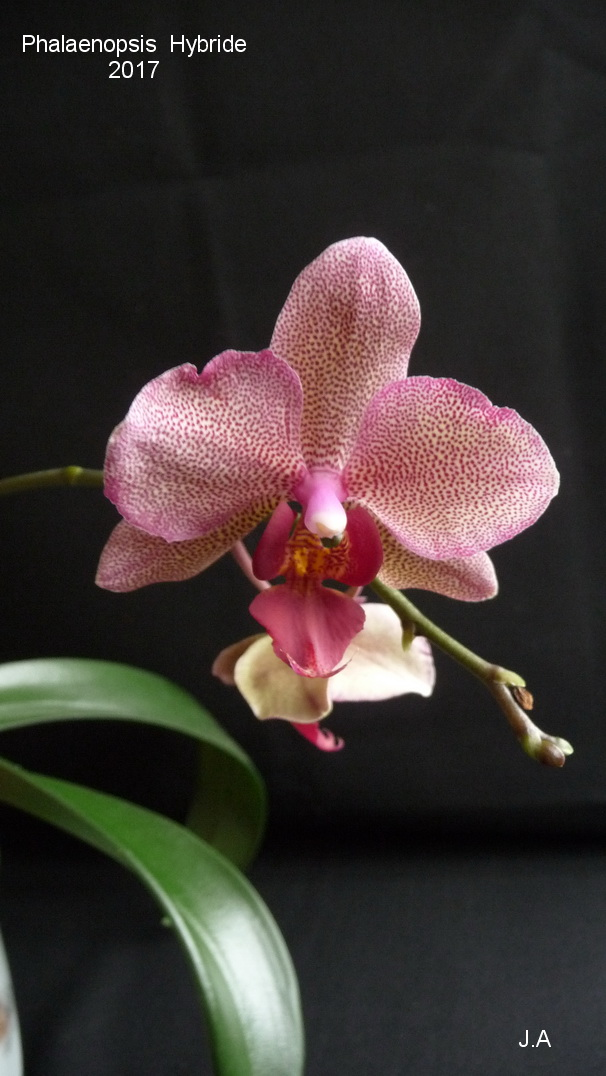 Phalaenopsis Hybride  N°3 17032002393534948