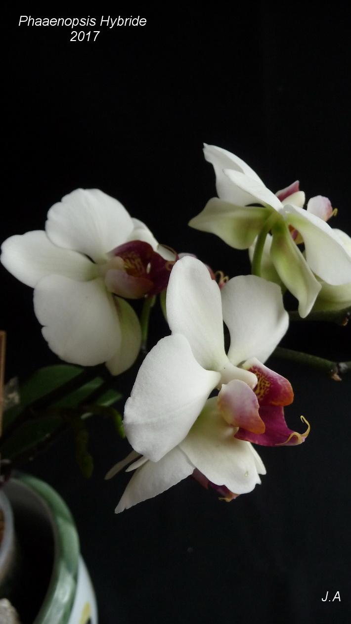 Phalaenopsis Hybride N° 5 170322091322308649