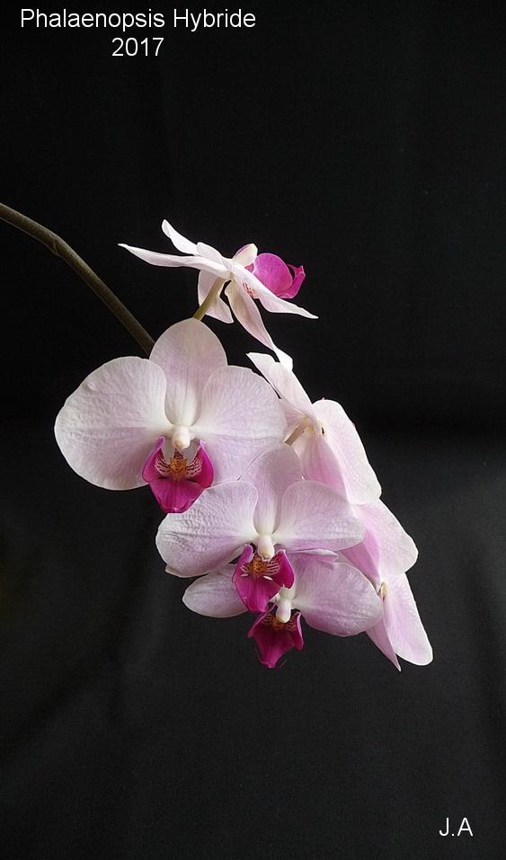 Phalaenopsis hybride N°7 170325082836161247