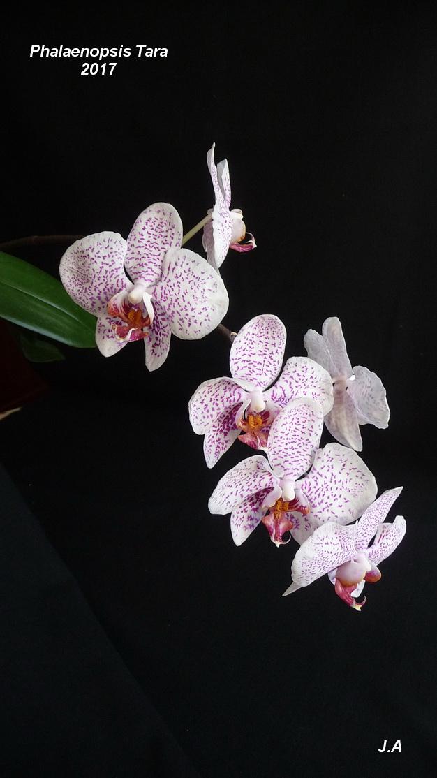 Phalaenopsis Tara 170328104822114199