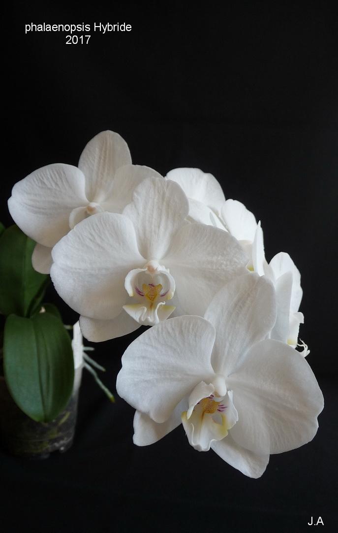 Phalaenopsis Hybride 170331091959472349