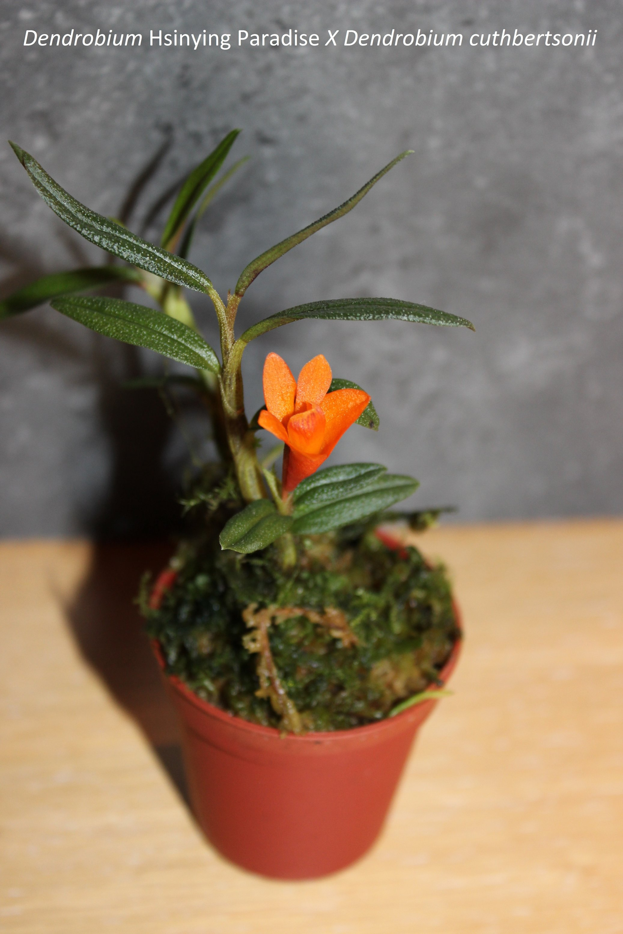 Dendrobium hybride 170509082203518914