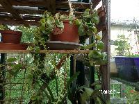 Hoya carnosa compacta - Page 2 Mini_170607090541532351
