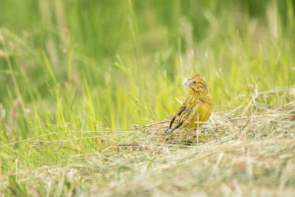 Dame bruant jaune prépare un nid douillet pour ses petits  170615114902727086