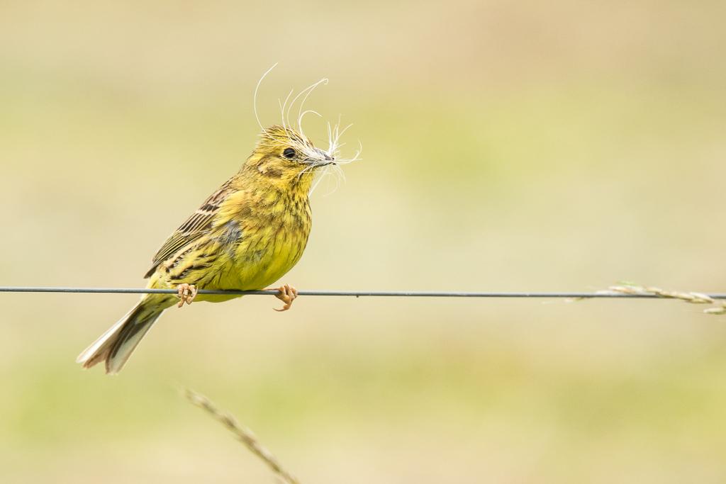 Dame bruant jaune prépare un nid douillet pour ses petits  170615114937670087