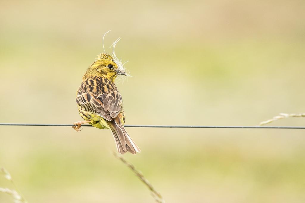 Dame bruant jaune prépare un nid douillet pour ses petits  170615115006710608