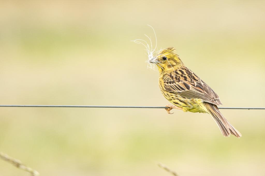 Dame bruant jaune prépare un nid douillet pour ses petits  170615115039107684