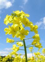 Fleur - Colza